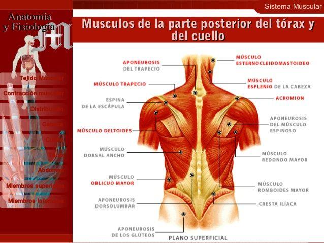 Sistema Muscular 19 Contracción muscular Distribución Cabeza Cuello Tejido Muscular Tórax Abdomen Miembros superiores Miem...