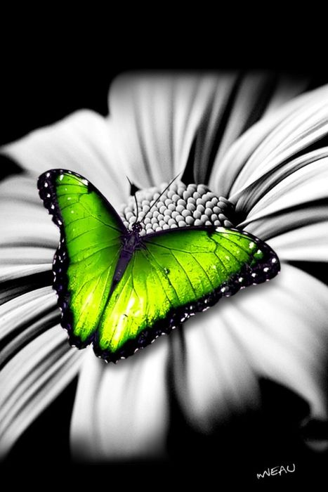 Beautiful <3: Beautiful Butterflies, White Flower, Nature Products, Green Butterflies, Black And White, Colors, Neon Green, Black White, Photography Art