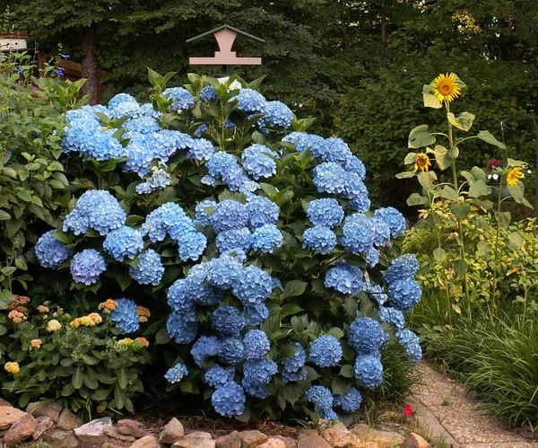 Click picture for link to instructions on pruning and dead-heading hydrangeas.    Hydrangeas need moist, well-drained soil for optimal growth. The pH level of the soil will determine the color of the hydrangea blooms. Acidic soils typically produce blue flowers and neutral to alkaline soils result in pink flowers. Adding coffee grounds or other organic material to your hydrangea's soil will reduce the pH level and make aluminum more available to the plant, resulting in more blue blooms.: Pruning Hydrangeas, Blue Hydrangeas, Hydrangeas Bush Care, End Of Summer, Pots Hydrangeas Care, Gardens Hydrangeas Care, Plants In Pots, Care For Hydrangeas, Hydrangeas Spring Care