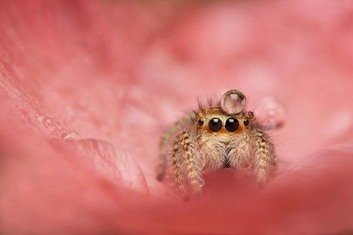 Belo chapéu.  bessemberfox:   jumping spider water drop - Google Search on We Heart It. http://weheartit.com/entry/62815182/via/TechnoKitten72