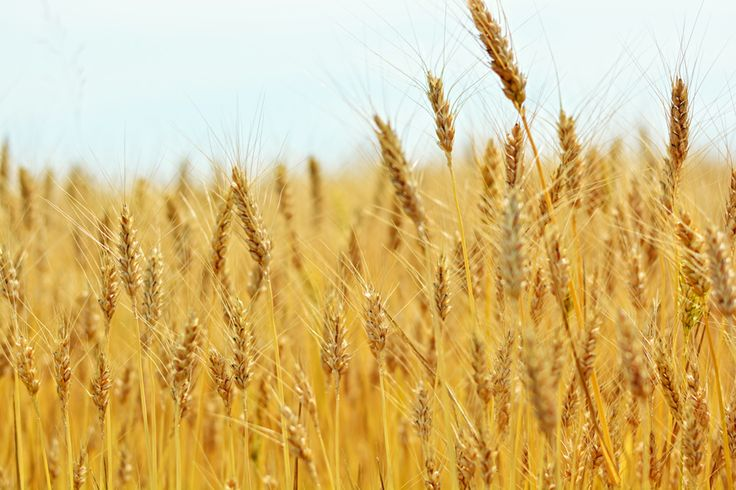 #wheatfield