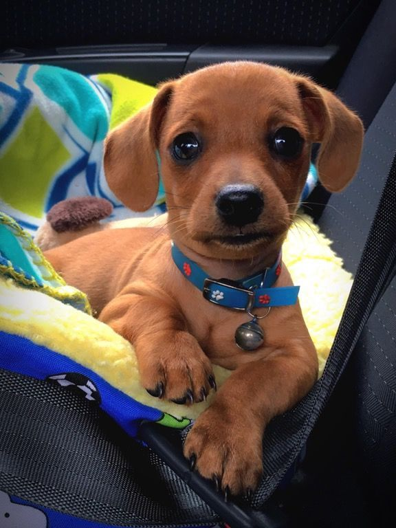This Dachshund puppy looks like a stuffed dog.
