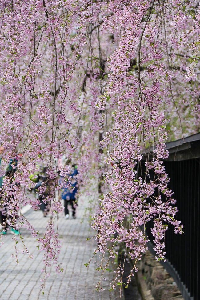 Cherry Blossom Reports 2016 - Kakunodate: Full Bloom