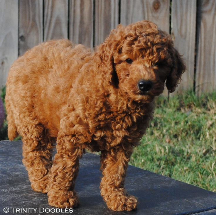 Oh so lovely red miniature Australian labradoodle boy
