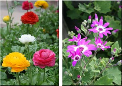 Ranunculus form bright, colorful rosette flowers and prefer a cool room, 60-68°F.  Cineraria have clusters of bright daisy flowers. A cool room (60-68°F) will prolong blooming