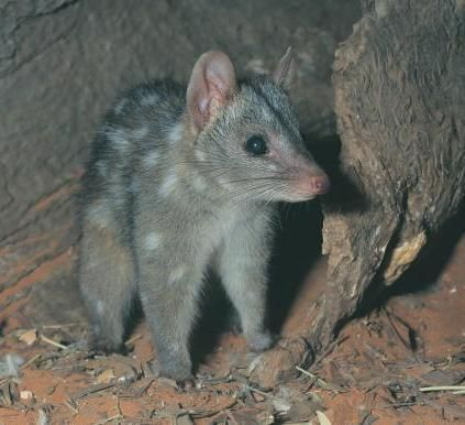 Australian Animals : Australia has more than 378 mammal species, 828 bird species, 4000 fish species, 300 species of lizards, 140 snake species, two crocodile species and around 50 types of marine mammal. More than 80 per cent of our plants, mammals, reptiles and frogs are unique to Australia and are found no-where else.