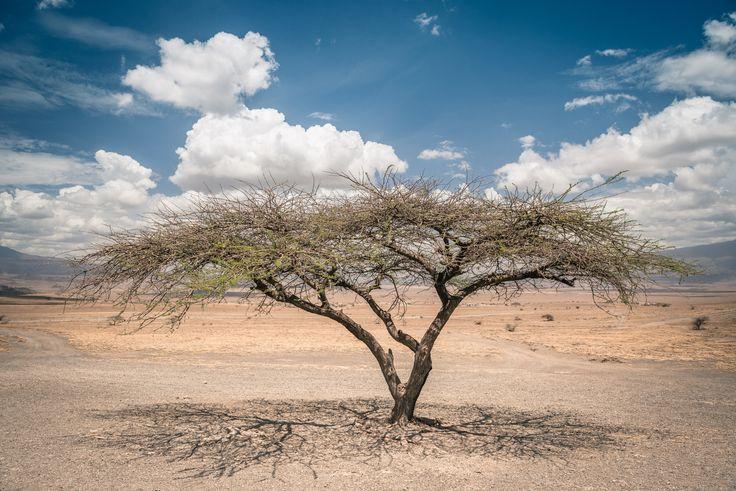 Alone - Tree on the way to Natron Lake, Tanzania.