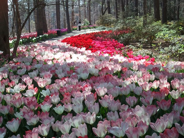 Tulip Extravaganza Tulips Blooming In Breathtaking Beauty At Garvan Woodland Gardens Hot