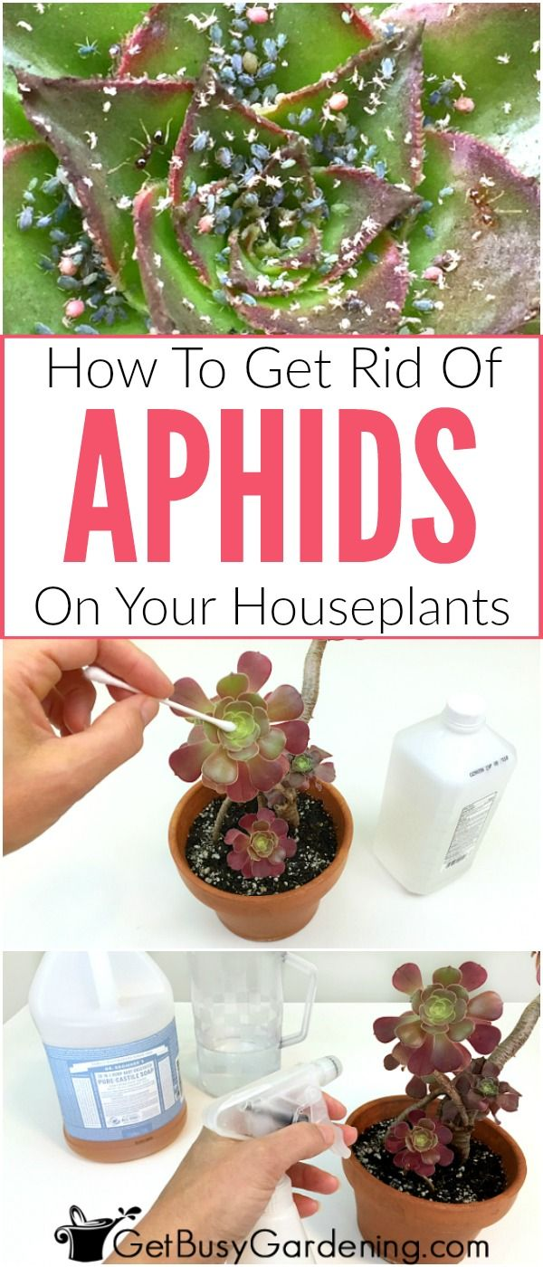 Many times, aphids look like green bugs on houseplants, but they can be almost any color. It can be difficult to get rid of aphids on houseplants, but not impossible. Follow these organic treatment methods for killing aphids, and learn how to prevent aphids from ever coming back!
