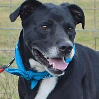 Pictures of TOBY KEITH a Labrador Retriever/Boxer Mix for adoption in Liverpool, TX who needs a loving home.