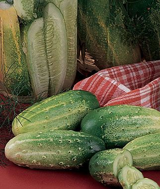 """Cucumber, Burpee Pickler Hybrid. Mom was right. Much better than the """"new"""" burpless cukes."""
