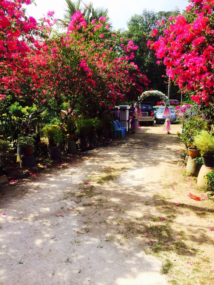 Bougainville llned the entrance to the country home