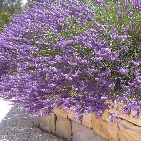 Lavandula angustifolia - Lavendel. 4o cm hög, blommar i juni-augusti.