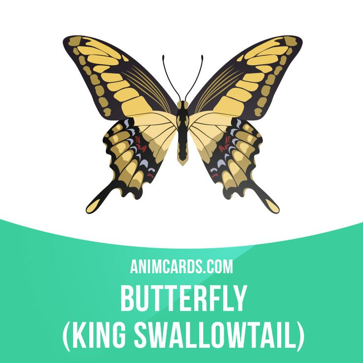 It is found in the southernmost United States, Mexico, Central America and South America (as far south as Argentina and Uruguay). The wingspan is 100–130 mm.  #english #englishlanguage #learnenglish #studyenglish #language #vocabulary #dictionary #englishlearning #vocab #animals #butterfly #butterflies #kingswallowtail
