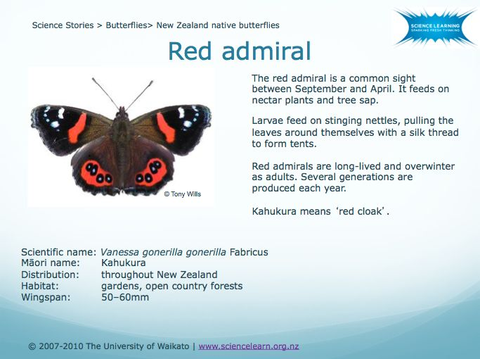 DOWNLOADABLE POWERPOINT - New Zealand native butterflies -  Big, bold butterflies like the monarch are easy to spot. If you want to see some of our natives, careful observation is the key. Use the New Zealand native butterflies PowerPoint to learn more about native butterfly habits and behaviour, then go butterfly hunting!
