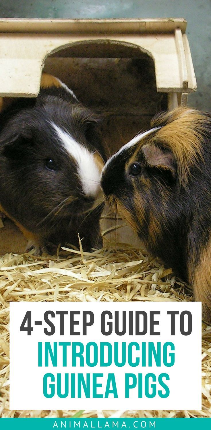 Did you decide to adopt another guinea pig? Make sure your old and new pet start their relationship on the right foot. Take a look at our 4-step guide on introducing guinea pigs. #guineapigs #pets #introducingguineapigs #guineapigcare