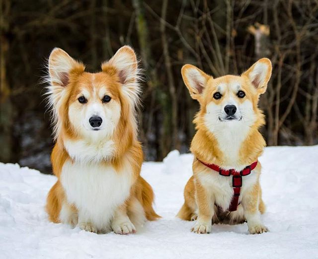 Most people are familiar with short-haired Corgis but did you know there is a fluffier version too?  That's right, a long-haired Corgi!