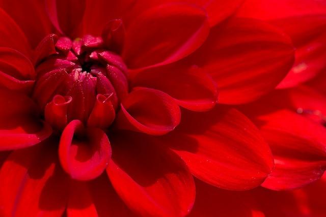 MarikaGirl | Red Dahlia | red + flower macro
