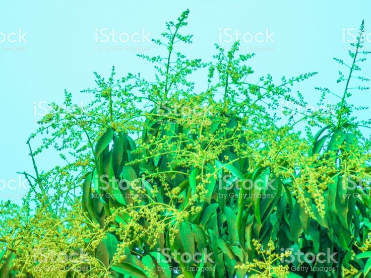 Mango flowers and buds royalty-free stock photo