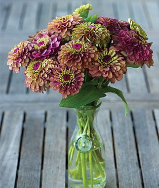 """Zinnia, Queen Red Lime  Exotic and unusual bicolor zinnia.  Flowers 2.5-3"""" across are thickly layered with maroon red petals, then crowned with lime green. Vigorous plants grow to 40"""" high, with long-stemmed, uniformly colored blooms. Use in masses for borders and in fresh bouquets."""