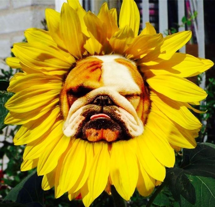 "10 English Bulldogs that will melt your heart. #2 Made me say ""awwwww!"" http://www.i-heart-pets.com/10-english-bulldogs-will-melt-heart/"