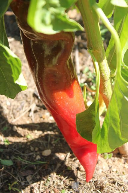 Corno di toro rosso sweet red peppers #potager