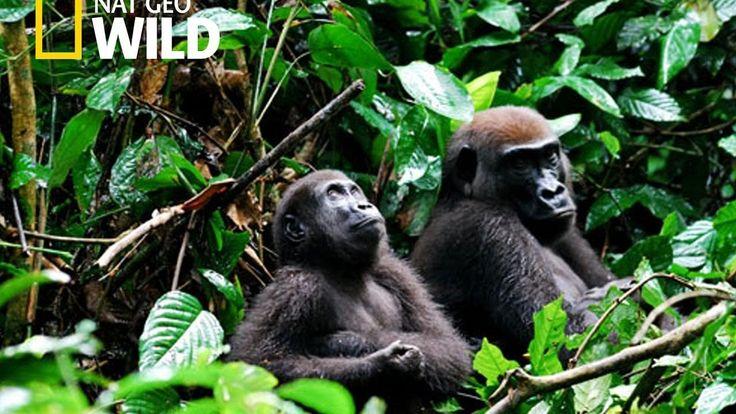 Gorilla Mating  -  Gorilla Mating Like Humans  (Mountain Gorilla Video)