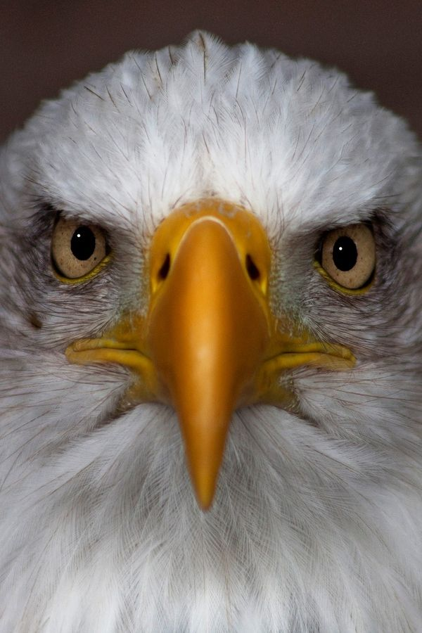 American Bald Eagle art portraits, photographs, information and just plain fun. Also see how artist Kline draws his animal art from only words at drawDOGS.com                                                                                                                                                      More