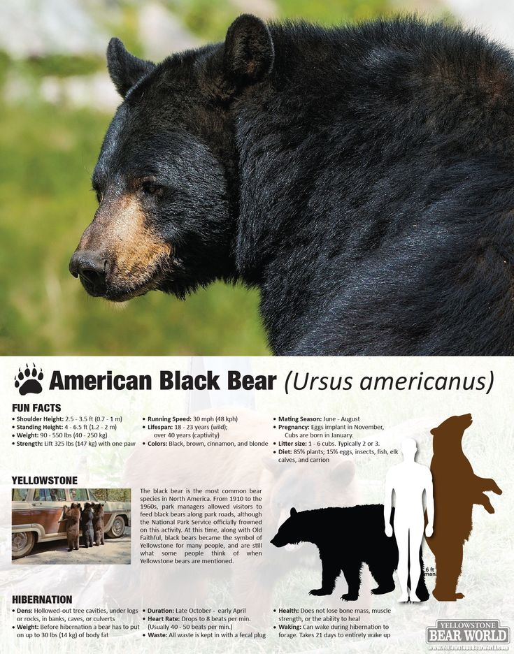 Go to Yellowstone Bear World to see American Black Bear up close in their natural habitat.