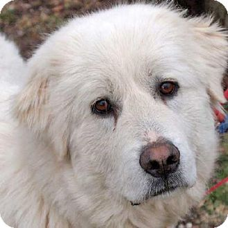 2/20/14: Beacon, NY - Great Pyrenees. Meet DeeDee - new! a Dog for Adoption.