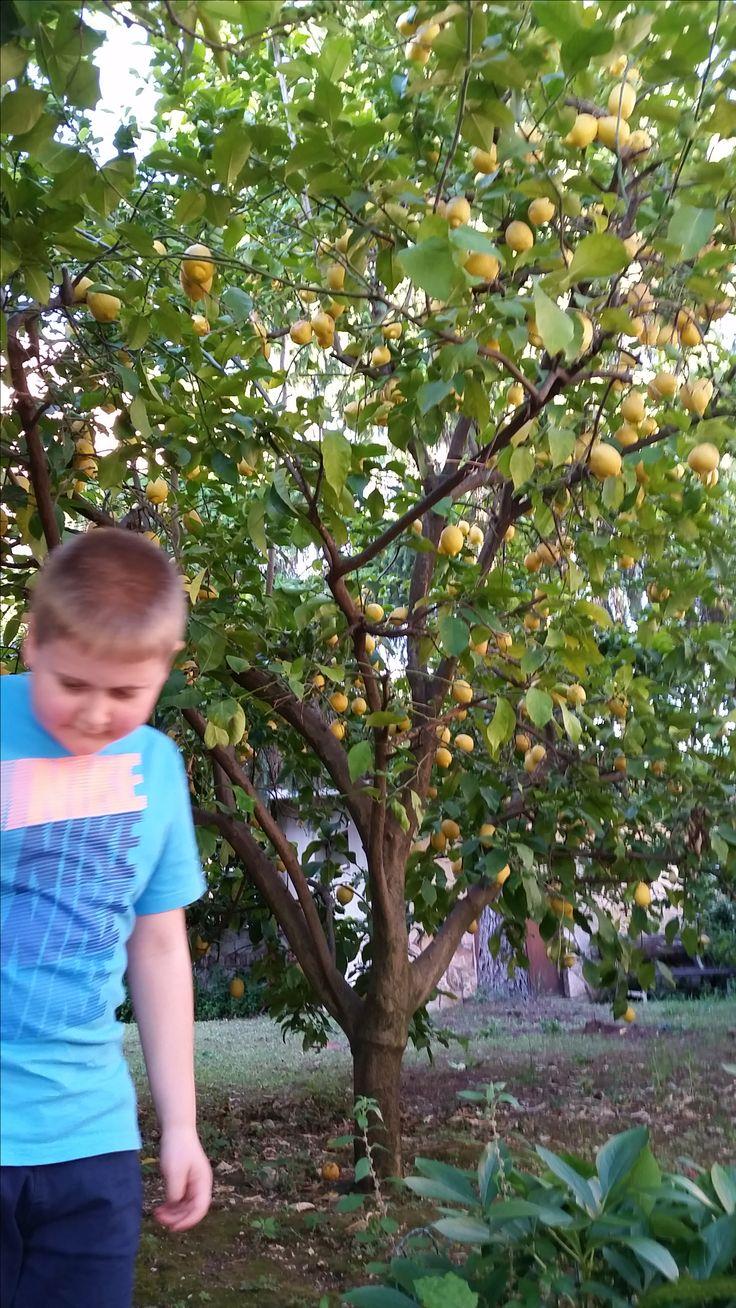 very fruitful lemon tree in Rome Italy  http://www.just-commerce.net