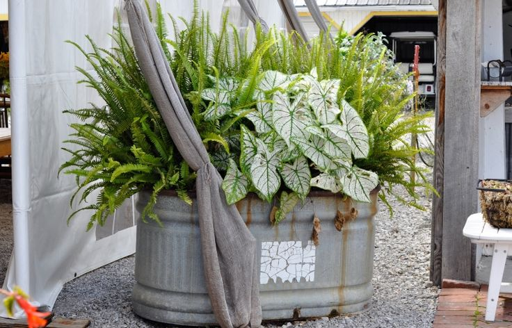 How To Use Caladiums In Summer Containers Combo Includes