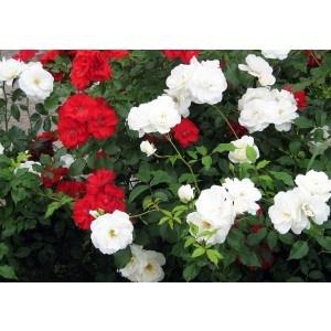 Trandafir mix d10,5cm