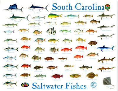 Shellfish identification chart search results calendar for Nc saltwater fish