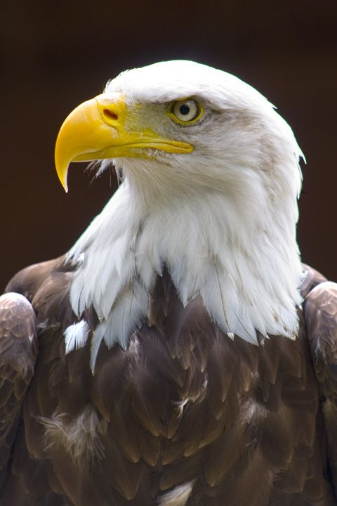 Birds of Prey - The Proud Eagle - by jimika