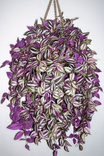 Wandering Jew is a purple and silver striped vine that does well inside with bright light or outside where hardy in shady conditions. Get yours today at gardengoodsdirect.com!