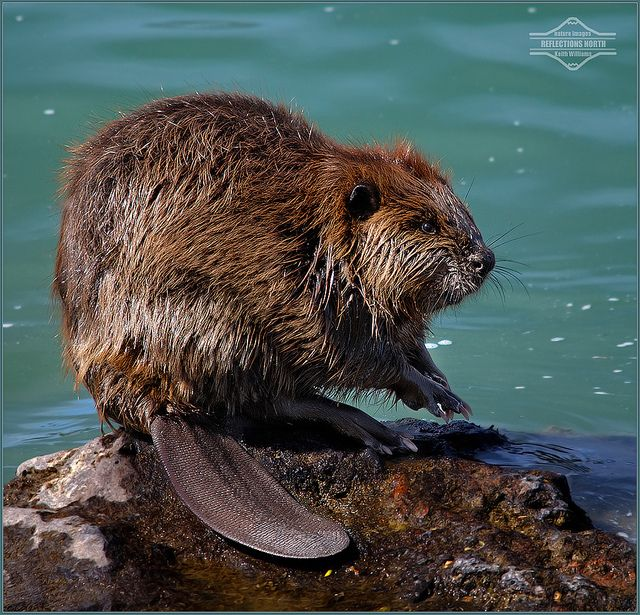 Beavers are very good at creating ponds.  They are also good at felling trees by river banks.  Some cities have to put wire around their trees lower trunks.