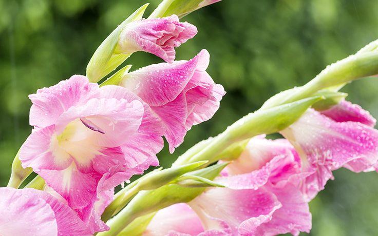 De gladiool, met zijn aren vol met bloemen in prachtige kleuren, kan wel anderhalve meter lang worden. De gladiool vindt zijn oorsprong in Afrika en is een typische zomerbloeier. De botanische naam van deze bloem is 'Gladiolus', wat zwaardje betekent. Dit verwijst naar de typische zwaardvormige bladeren van de gladiool.  Plaats: Als [...]Lees meer...