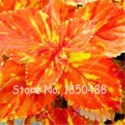 100 pcs / bag Rainbow Dragon Coleus Seeds, Beautiful Flower Plants, Balcony Potted Bonsai Mixed Colors 2016 Promotion