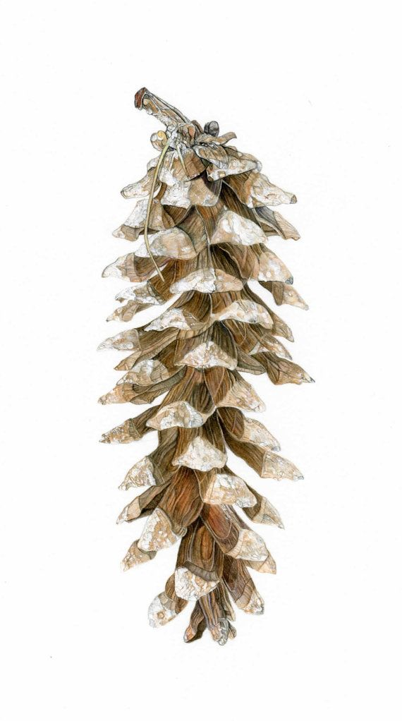 Pine Cone Illustration Pine Cone Botanical Il...