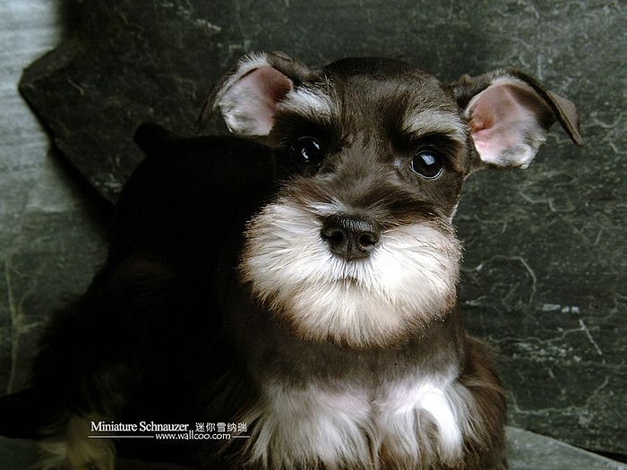 Black And Silver Miniature Schnauzer | *1200 Black-and-silver Miniature Schnauzer Puppy Picture 、Miniature ...