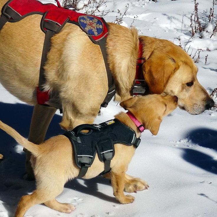 Image result for alta lucy ski patrol dogs