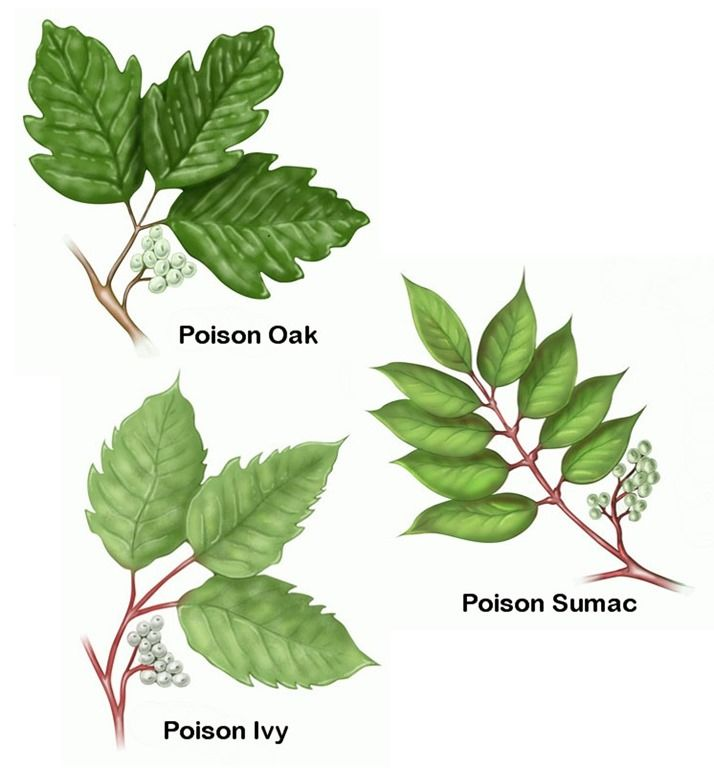 Essential oils for Poison_Oak_Ivy_Sumac