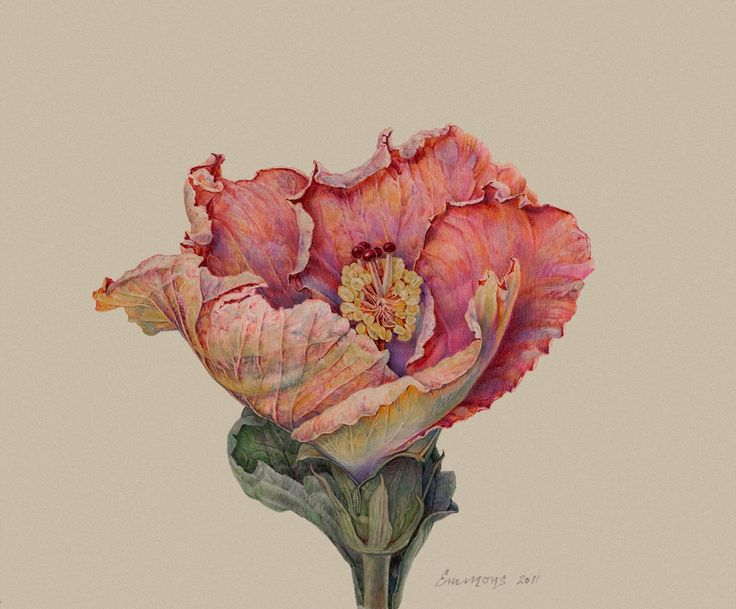 14 best hibiscus images on pinterest botanical art botanical susan frei nathan fine works on paper was established to affirm and promote the place of botanical painting and drawing within the fine art market ccuart Image collections