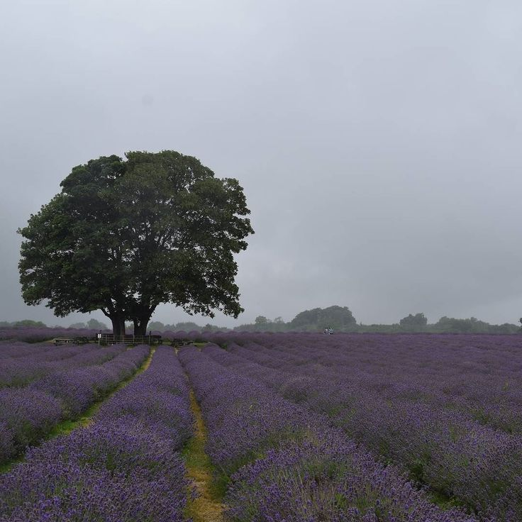It was a bit of a mizzly start at @mayfieldlavender this morning. No less beautiful though. Check out my stories for more photos