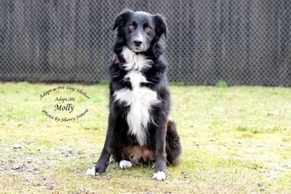 Border Collie Dog For Adoption In Shelton Dog Adoption Collie Dog Border Collie Dog