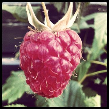 Framboos in frambozenstruik #raspberry #garden