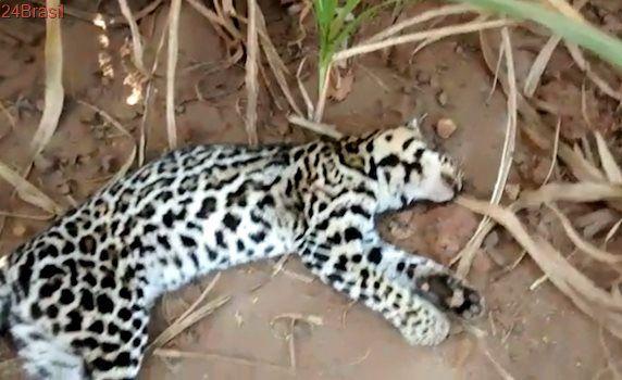 Jaguatirica é encontrada morta em acostamento em São Manuel