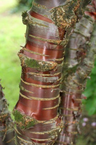 Ecorce d'un cerisier d'ornement( ici prunus Serrulata), un des arbres qui se couvrent de fleurs odorantes au printemps