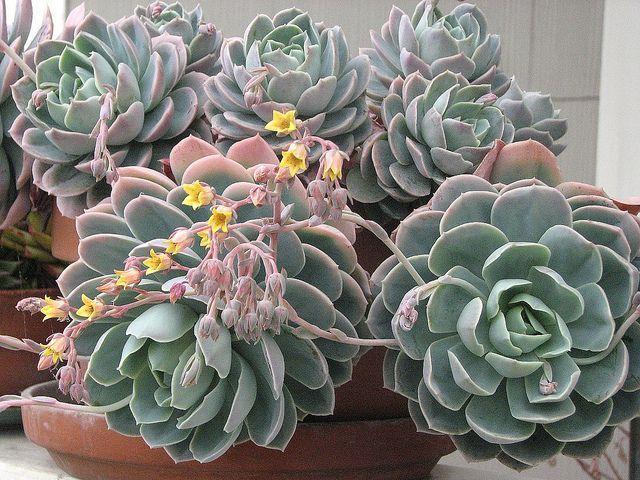 Echeveria En Maceta De Barro Succulentavenue Suculentas Echeveria Echeveria Suculentas Cactus Y Suculentas